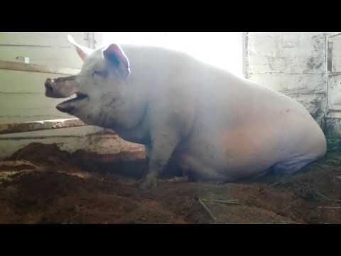 Как поросится свинья что надо делать видео