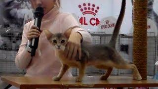 Абиссинская Кошка - Характер, Описание и Поведение Кошки | ПОРОДЫ КОШЕК