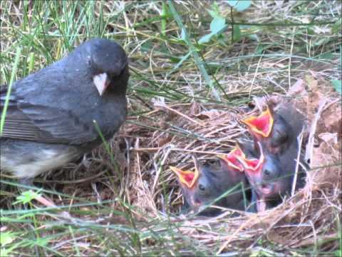 A Junco Nest Story