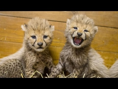 Meet the 5 Cheetah Cubs That Can't Stop Hissing at Each Another