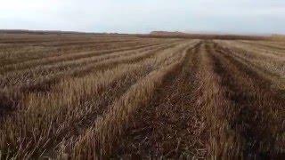 Охота с русским охотничьим спаниелем Дусей на рисовых чеках