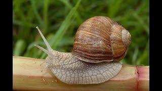 Мои моллюски . Часть 1 : Виноградная улитка