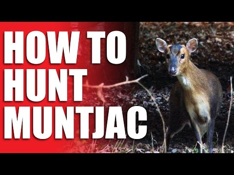 How To Hunt Muntjac