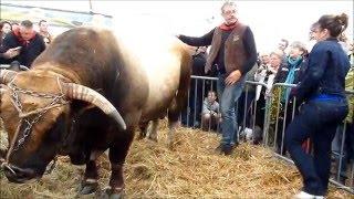 Taureau AUBRAC  traditions  AUBRAC Bull