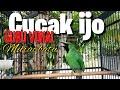 Cocak Ijo Penuh Semangat Jadi Guru Vokal Murai Batu  Mp3 - Mp4 Download
