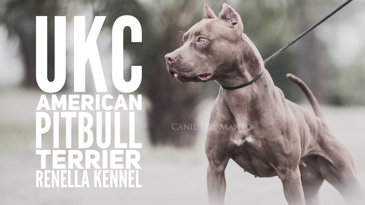 Ukc American Pitbull Terrier Zuchter Vorstellung Renella Kennel Youtube