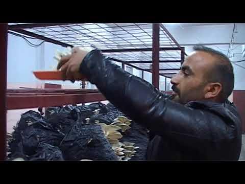 Hakkari'de ilk defa istiridye mantarı yetiştirildi video