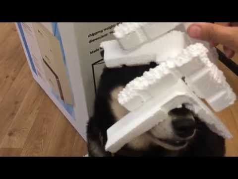 Indignant Shiba Inu balances styrofoam on her nose (Katsumi Firefox)