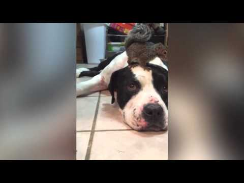 Собака защищает белку от кошки