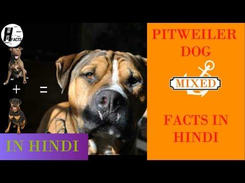 Pitweiler Dog Facts | Hindi | MIX DOG BREEDS | HINGLISH FACTS