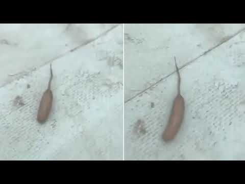 Сосиска с хвостом: путешественник обнаружил в Австралии странное существо