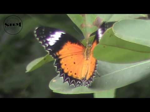ผีเสื้อกะทกรกธรรมดา (Leopard Lacewing)