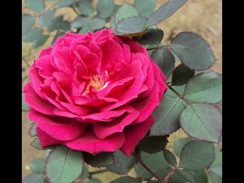 How To Desi Rose Plant Care Deference In Desi English Rose Urdu Hindi