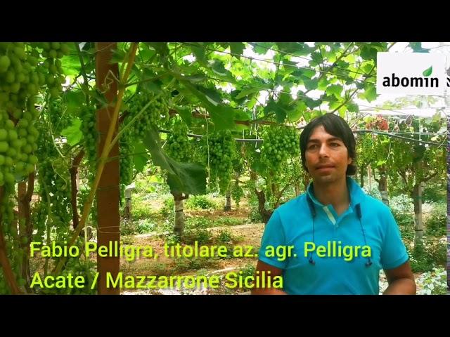 Uva Italia - Abomin Pro - az. Pelligra - Sicilia Mazzarrone