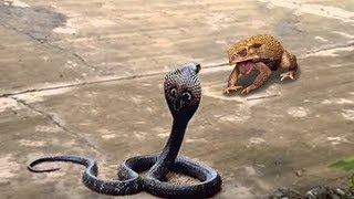 Hash Life Of Snake - Frog Fight and Escape From Snake - Frog Attack King Cobra