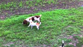 Jack Russell And Cocker Spaniel Doggy Style Love Affair Not Working Out...
