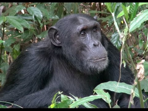 Chimpanzees of Kibale National Park - Uganda