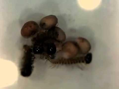 Bruchi appena nati di Molippa nibasa (Saturniidae) Mexico