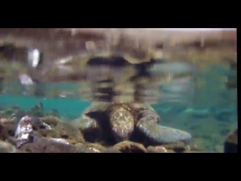 Sea Turtle Punalu
