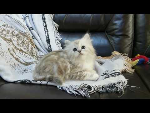 Silver natural mink classic tabby female RagaMuffin kitten