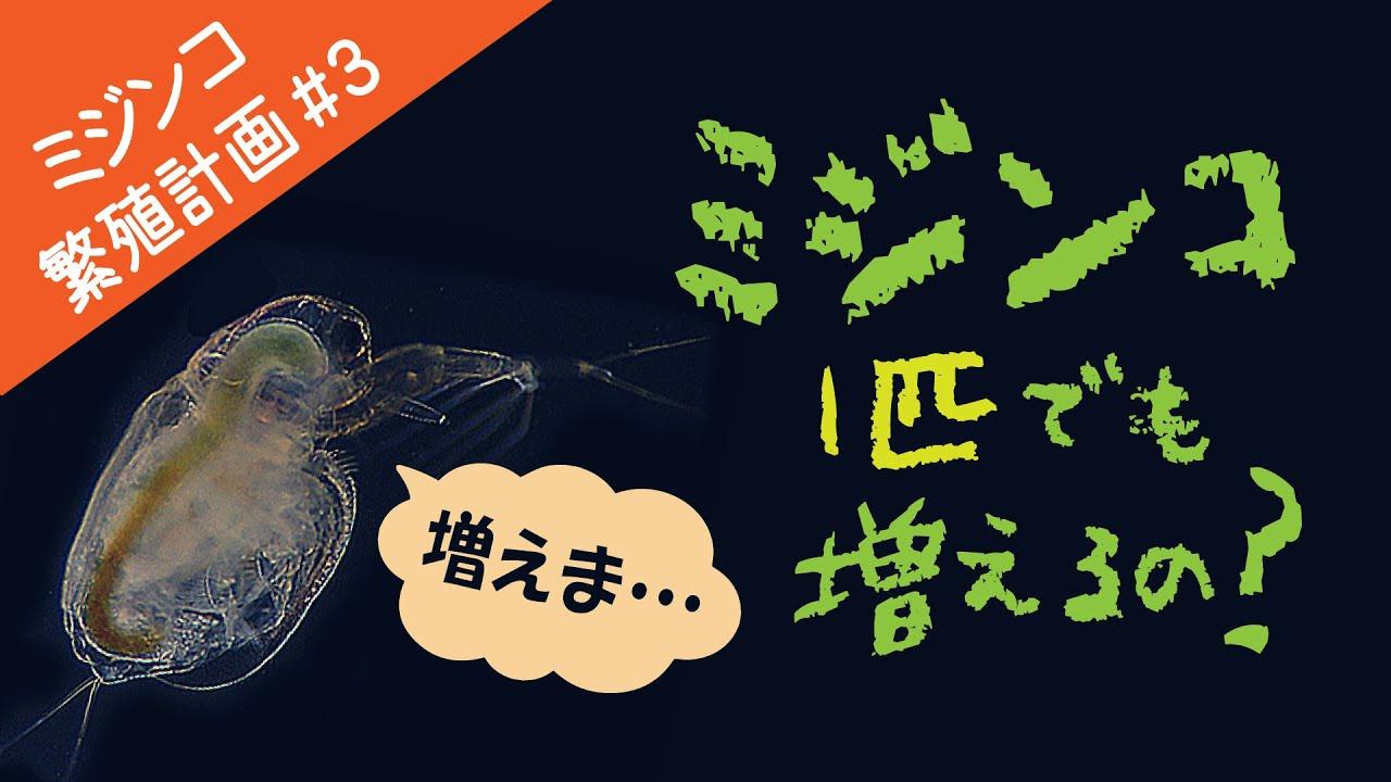 【ミジンコ繁殖計画#3】タマミジンコ1匹でも増えるの?