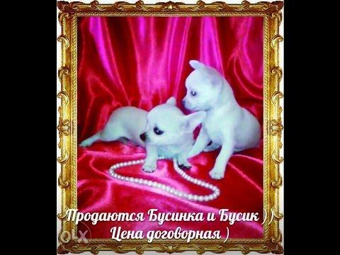dog Barbie is a very sweet Chihuahuaиз YouTube · Длительность: 54 с  · Просмотры: более 1000 · отправлено: 12.11.2017 · кем отправлено: Murzikcat