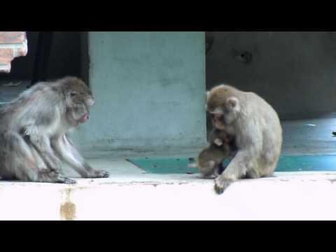 Japanse makaak baby in Dierenpark Amersfoort
