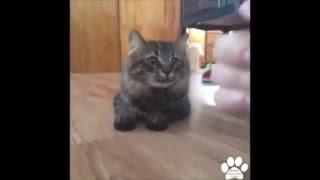 очень умные и сообразительные кошки