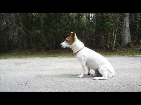 Jack Russell Terrier Waiting for Mom