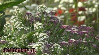 видео Цветок лобулярия: фото, сорта, выращивание из семян рассадой
