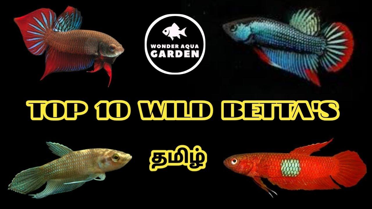 Top 10 Wild Betta's in Tamil | Must Watch 😇| தமிழ் | Wonder Aqua Garden