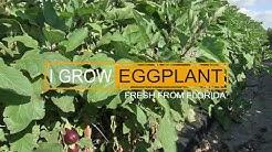I Grow: Eggplant