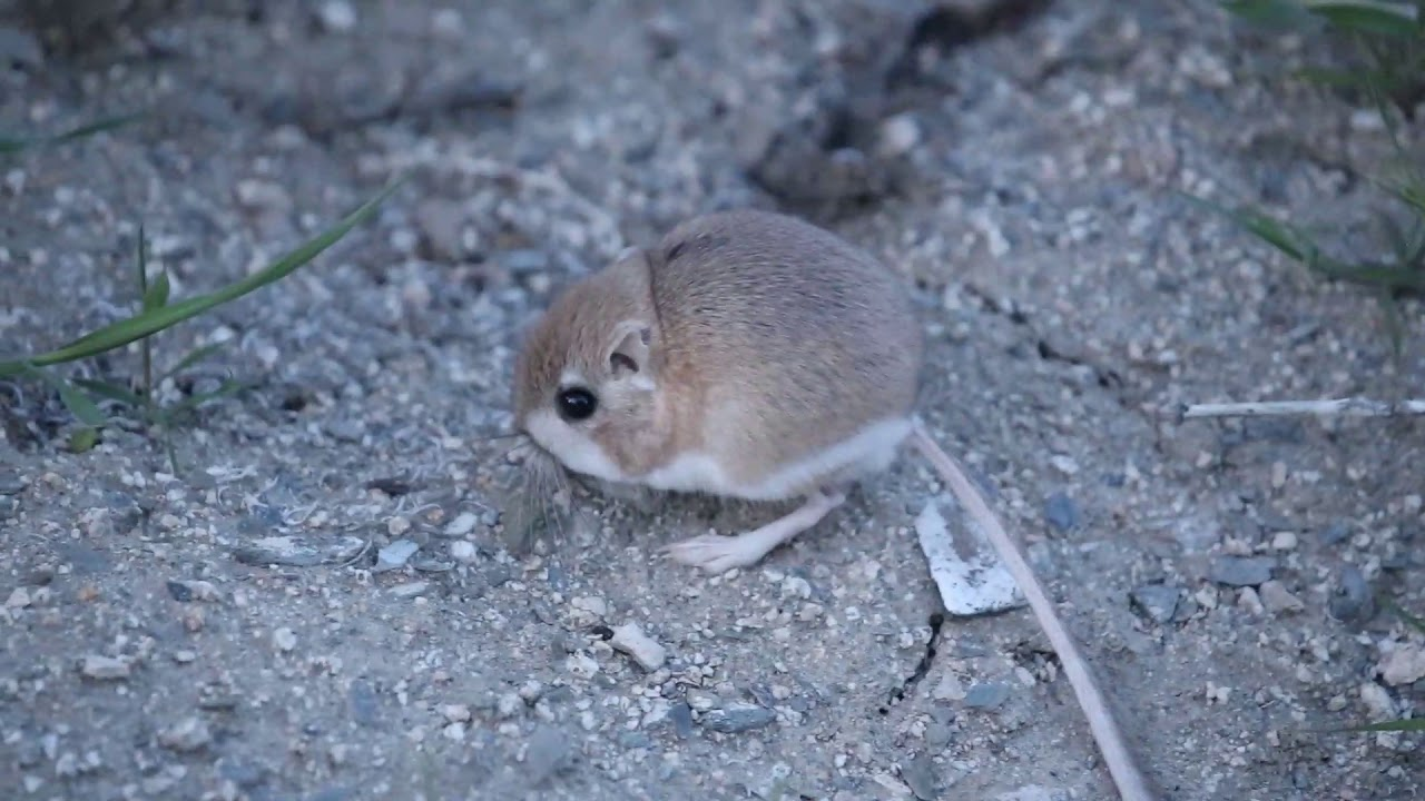 Nevada Desert Kangaroo Rat Youtube