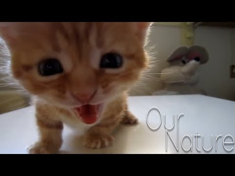Speak Up, Kitty! - Cats and Kittens Meowing Compilation 2018