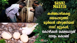 The cobra scares away black hens,swallows four eggs…Hens escape by sheer luck! | Snakemaster EP 463