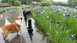 (hd) Iris / 花菖蒲 相模原公園 20100614 Goro@welsh Corgi