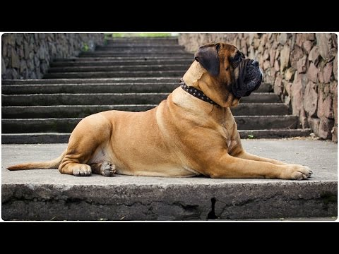 The calmest Bullmastiff ever wears Studded Dog Collar
