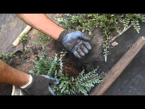 Planting Blue Rug Juniper Youtube
