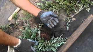 Planting blue rug juniper