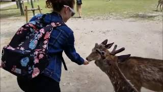 Hand Feeding Deer In Shrine Park At Nara Japan