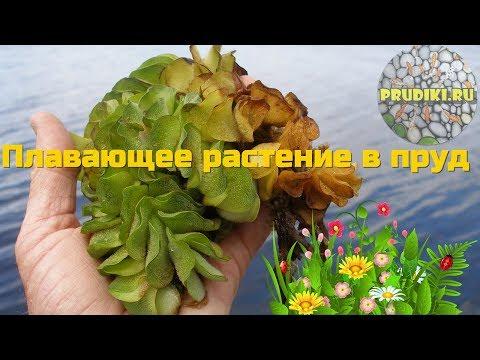 Вопрос: Что за растение salvinia cuccullata, можно её выращивать в аквариумах?