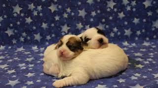 Coton Puppies For Sale - Haylie 11/3/20