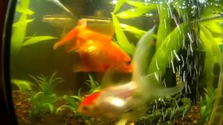 Золотая рыбка плавает вверх брюхом