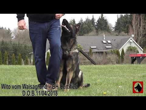 kraftwerk-k9-german-shepherd-superstar-obedience-at-16-months-old!