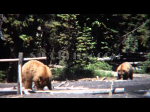 1971: Grizzly bears walking on beach waterfront hunting food. YELLOWSTONE, WYOMING