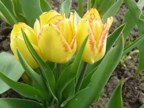 #Тюльпан. Фото тюльпанов и хорошая музыка. Часть 1.