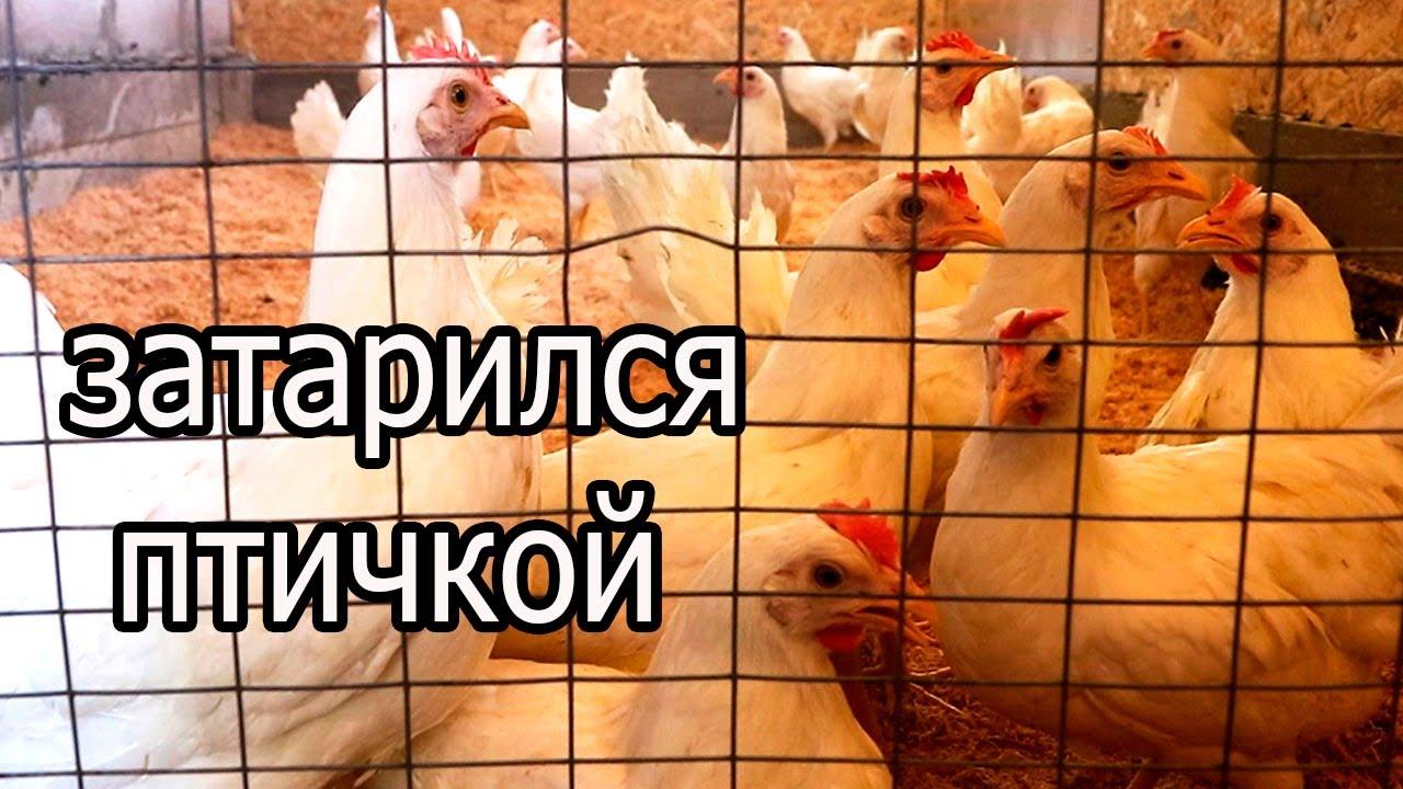 ЕДУ В РАССВЕТ! Цыплята, утята, гуси, индюки, цесарки!
