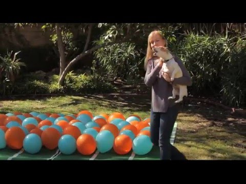Super Bowl predictions 2016, balloon popping dogs, professional edit