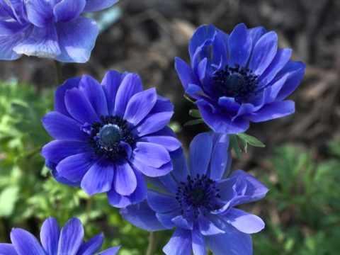 Клип Лама - Блакитна квітка