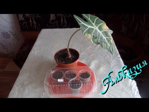 Алоказия: размножение и реанимация уценённого растения .Часть 1-я